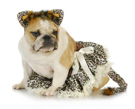 dog dressed like a cat - english bulldog wearing cat costume on white background