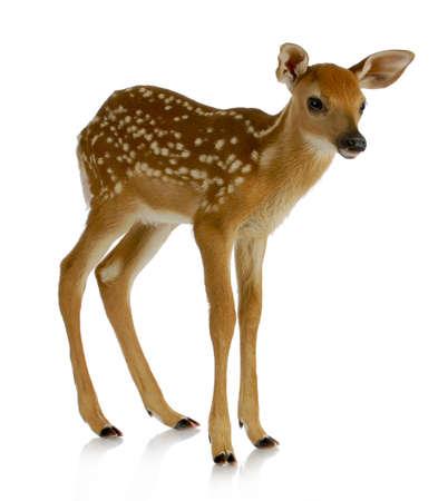 새끼 사슴 - 흰색 - 꼬리는 흰색 배경에 격리 된 서 스톡 콘텐츠
