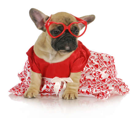 female french bulldog wearing heart glasses and red party dress - 8 weeks old