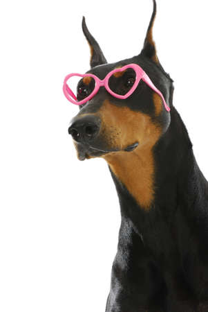 sweet dog - doberman pinscher wearing heart shaped glasses on white background