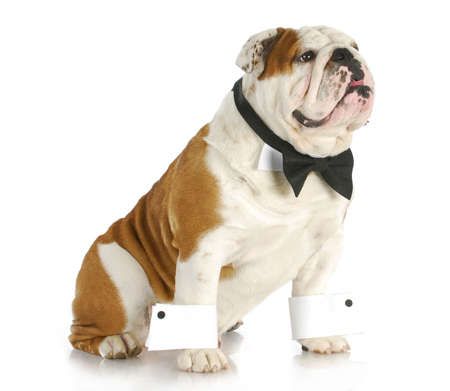male dog - english bulldog dressed up wearing bowtie and cuffs on white background