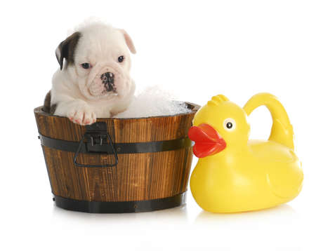 puppy bath time - english bulldog puppy in wooden wash basin with soap suds and rubber duck Banco de Imagens