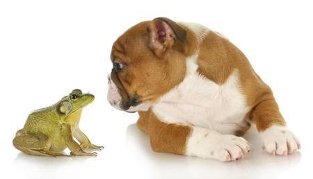 bulldog and bullfrog - english bulldog and bullfrog isolated on white background Imagens