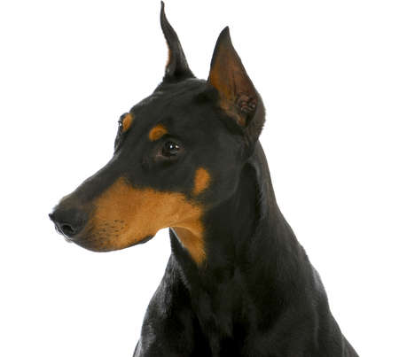 guard dog - doberman pinscher head profile isolated on white background 스톡 콘텐츠