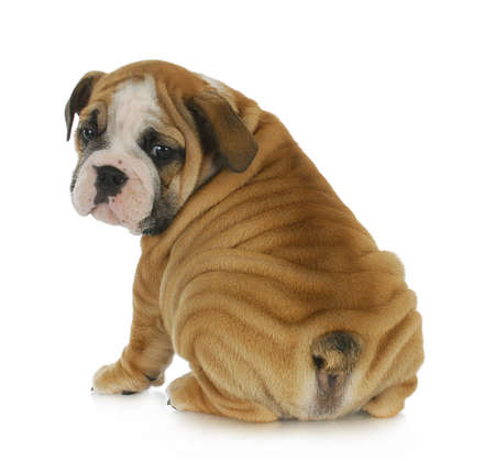 schattige puppy - Engels bulldog puppy kijkt over de schouder 8 weken oud Stockfoto