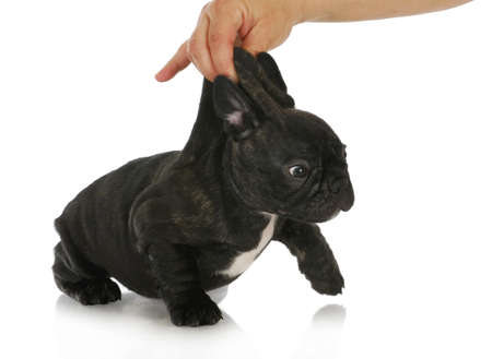 naughty puppy - french bulldog puppy being picked up by the scruff of the neck isolated on white background