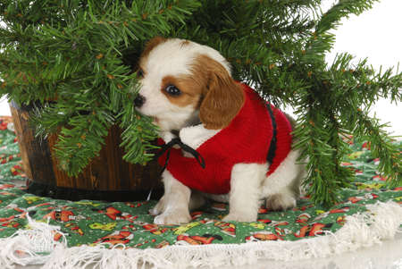 christmas puppy - cavalier king charles spaniel puppy under a christmas tree