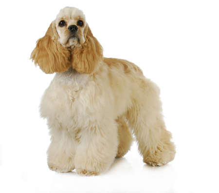 cute puppy - american cocker spaniel puppy standing on white background - 6 months old