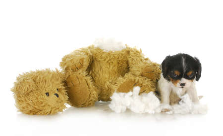 naughty puppy - cavalier king charles puppy chewing apart a stuffed teddy bear  Foto de archivo