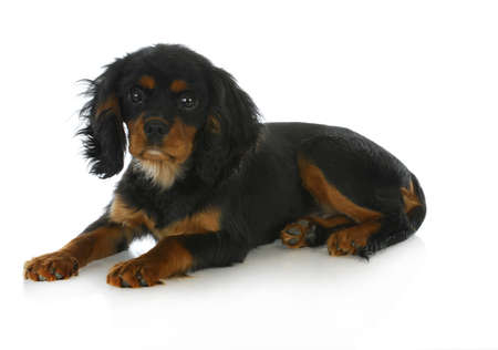 cute puppy - cavalier king charles spaniel puppy laying down - black and tan 4 months old