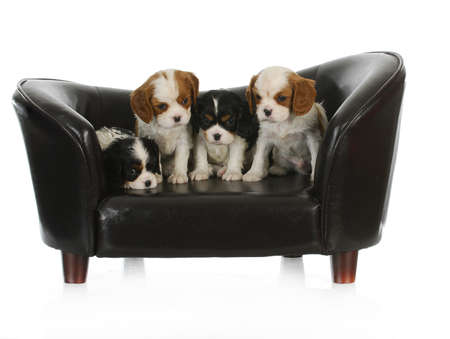 cute puppies - litter of cavalier king charles spaniel puppies sitting on a dog couch