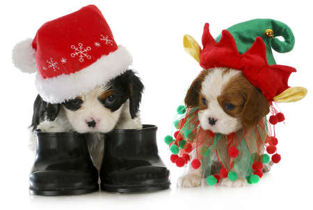 puppy santa and elf - cavalier king charles spaniel puppy dressed up like santa and elf on white background Imagens