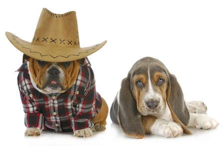 country dogs - english bulldog and basset hound isolated on white background photo