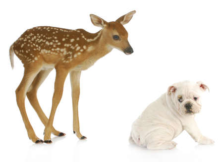 full length herbivore: unusual friends - baby doe and english bulldog isolated on white background