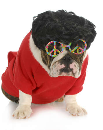 funny dog - english bulldog wearing black wig and peace glasses isolated on white background photo