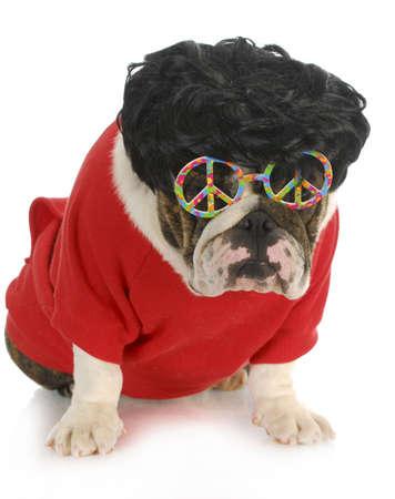 funny dog - english bulldog wearing black wig and peace glasses isolated on white background