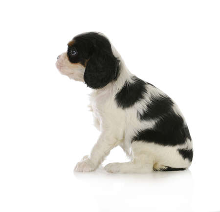 cute puppy - cavalier king charles spaniel puppy sitting looking up isolated on white background photo