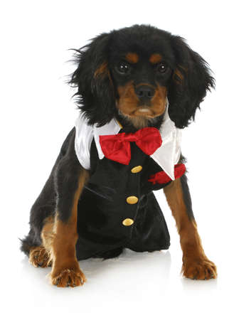 formal dog - cavalier king charles spaniel dressed up in a tuxedo on white background photo