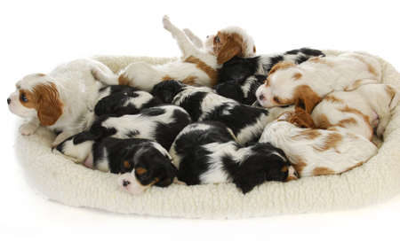 litter: litter of puppies - thirteen cavalier king charles spaniel puppies sleeping - 6 weeks old Stock Photo