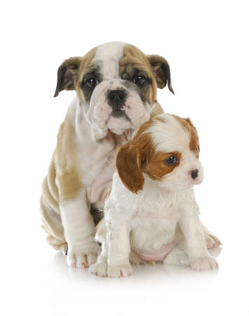 two puppies - english and cavalier king charles spaniel puppies looking  isolated on white background  photo