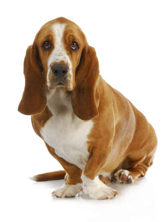 basset: basset hound sitting looking at viewer sitting on white background - 3 years old