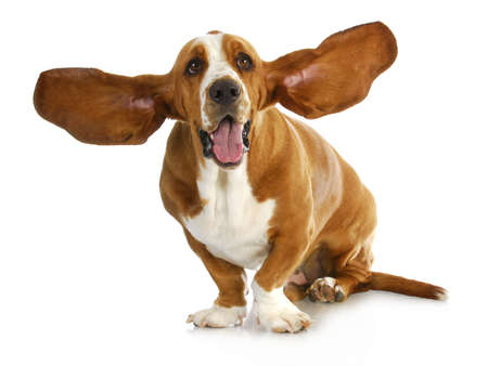 happy dog - basset hound with  Stock Photo