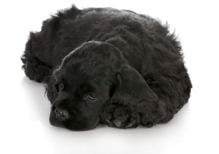 cocker spaniel puppy laying down with reflection on white background photo