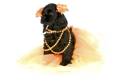 barrettes: adorable cocker spaniel puppy wearing orange girl clothing on white background Stock Photo