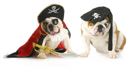 dog pirates - two english bulldogs dressed up in pirate costumes on white background photo