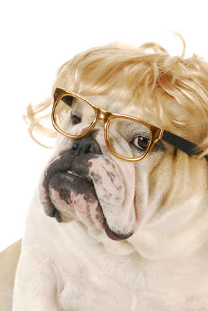 english bulldog with silly expression wearing blond wig and glasses on white background photo