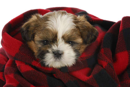 shih tzu: shih tzu puppy peeking out of red and black plaid blanket on white background