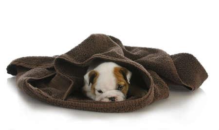 cute puppy hiding - english bulldog puppy hiding under a towel - 8 weeks old photo