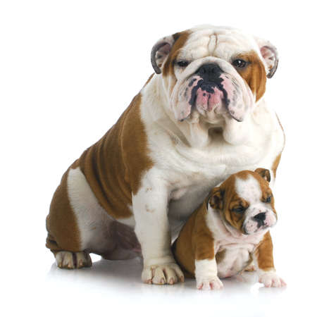 british people: father and son dogs - two english bulldogs sitting on white background