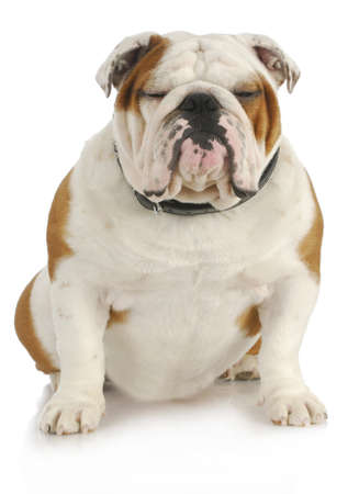 ugly mouth: english bulldog sitting with reflection on white background