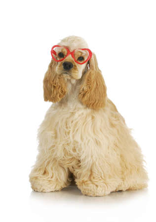 cute puppy - american cocker spaniel puppy wearing heart shaped glasses  photo