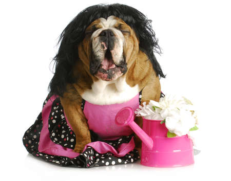 ugly mouth: dog complaining - female english bulldog wearing pink dress with mouth open and silly expression