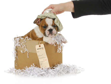 sick dog - woman holding water bottle on head of sick bulldog puppy ready to be shipped out for repair photo