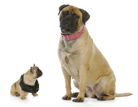 comparison: big and small dog - french bulldog puppy looking up to bull mastiff both wearing studded collars