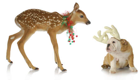 fawn: christmas reindeer and puppy - fawn and bulldog puppy dressed up for christmas on white background