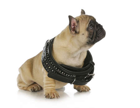 puppy growth - french bulldog wearing a black leather collar that is too big - 8 weeks old photo