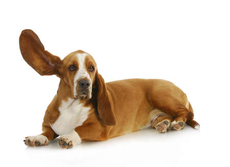listening to people: dog listening - basset hound with one ear up listening Stock Photo