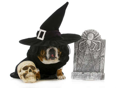 like english: dog witch - english bulldog dressed up like a witch for halloween isolated on white background