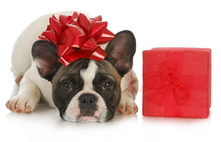 christmas puppy - french bulldog with red bow laying beside christmas present on white background