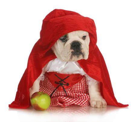 작은 빨간 승마 후드 - 영어 불독 흰색 배경에 사과와 빨간 드레스와 망토를 입고 스톡 콘텐츠