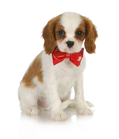 cute puppy - cavalier king charles spaniel wearing red bowtie sitting on white background Stock Photo