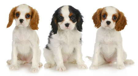 three puppies - litter of cavalier king charles spaniel puppies sitting looking at viewer isolated on white background