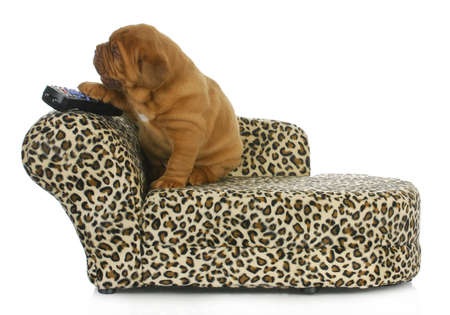 dogue de bordeaux: puppy with remote - dogue de bordeaux sitting on couch with paw on remote control = 4 weeks old Stock Photo