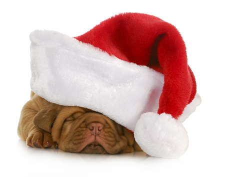 Santa puppy - Dogo de burdeos cachorro wearing santa hat - 4 semanas de edad photo