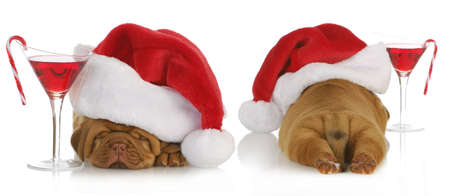 christmas puppy - santa dogue de bordeaux from the front and back with cocktail drink on white background - 4 weeks old