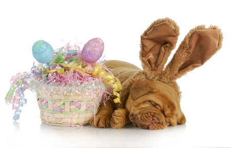dogue: easter dog - dogue de bordeaux wearing bunny ears laying beside easter basket - four weeks old